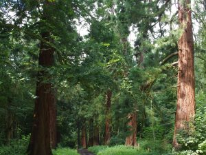 The Redwoods of Havering Country Park